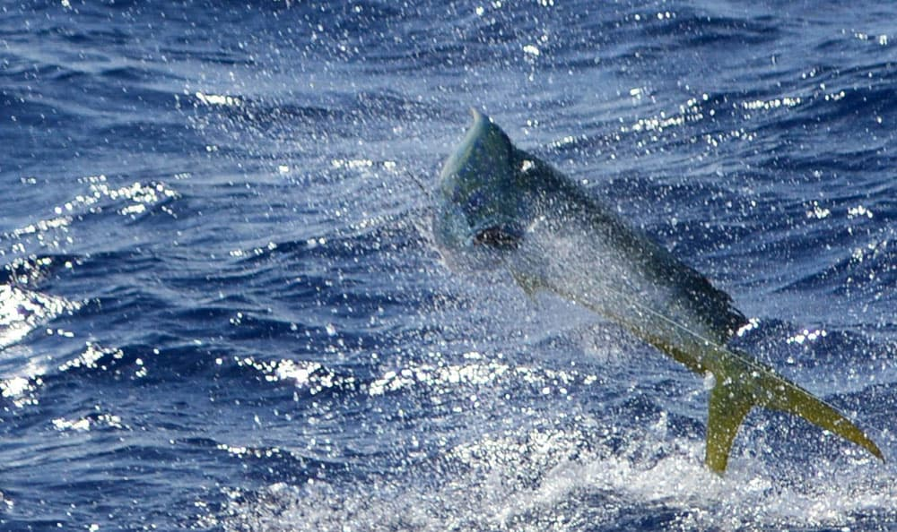 Best Bait to Use for Fishing in the Gulf Stream